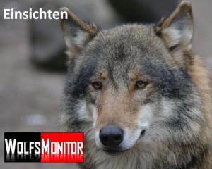Wolf im Tierpark Nordhorn