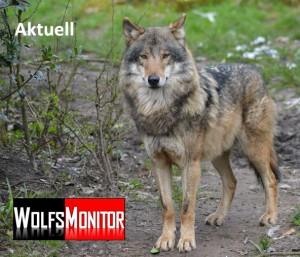Stehender Wolf im Tierpark Nordhorn (Foto: Vogler)