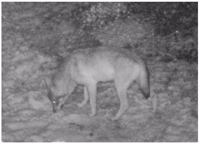 Wolf im Landkreis Unterallgäu, Quelle: bürk-privat